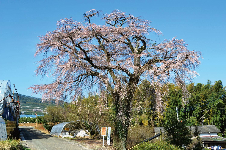 笹尾のしだれ桜の写真